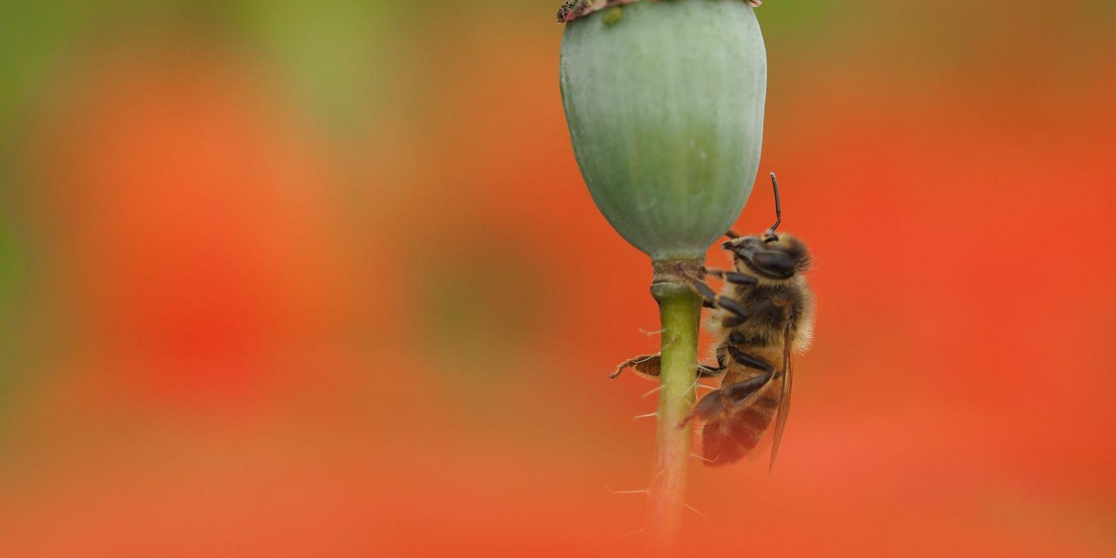 NKL Bloemenweide natuurakker Olst Klaproos insect (5) (Large)