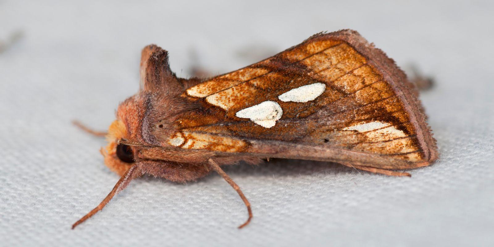 foto nachtvlinder