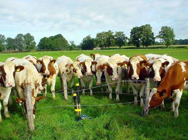 Koeien staan rondom een peilbuis in het Boetelerveld