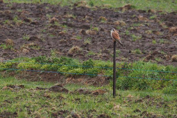 Roofvogel (Valk) zittend aan de rand van de plas-dras