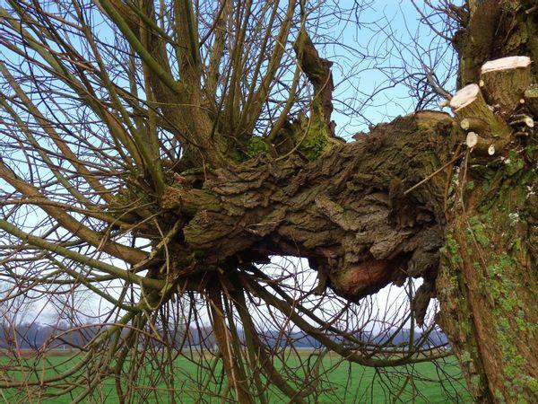 Natuurwerkgroep EnHOe behoudt knotwilgen voor de toekomst