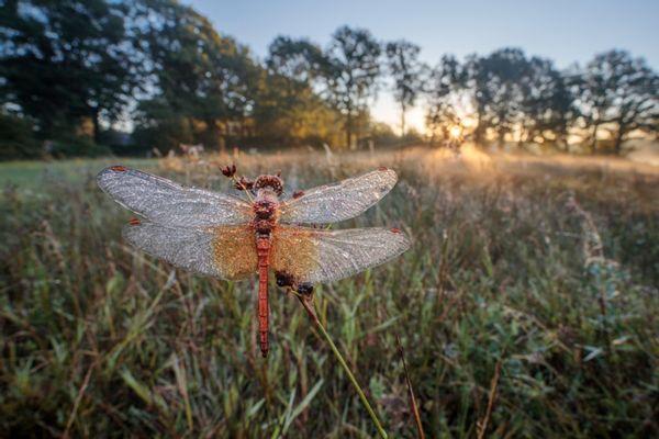 Geelvlekheidelibel, fotograaf Alex Huizinga