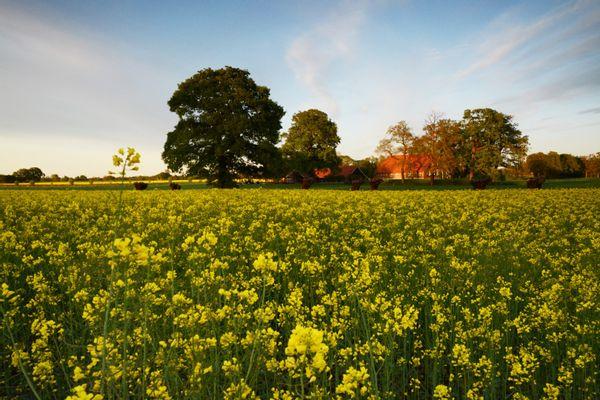 Massale bloei, velden koolzaad
