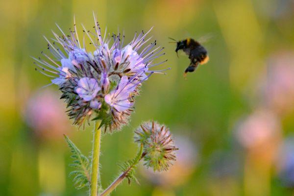 De facelia een bijenplant bij uitstek