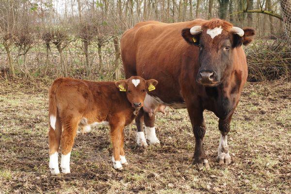 Brandrode runderen, moeder en stierkalf