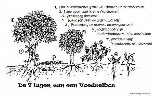 Visualisering van de 7 verschillende lagen in een voedselbos (Natuur en Milieu Drenthe, 2019)